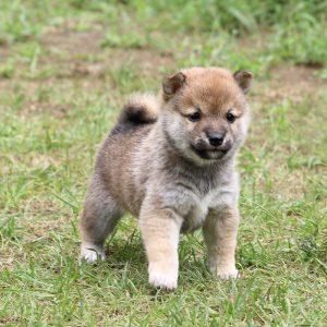 豆柴母犬 ユイちゃんの子b