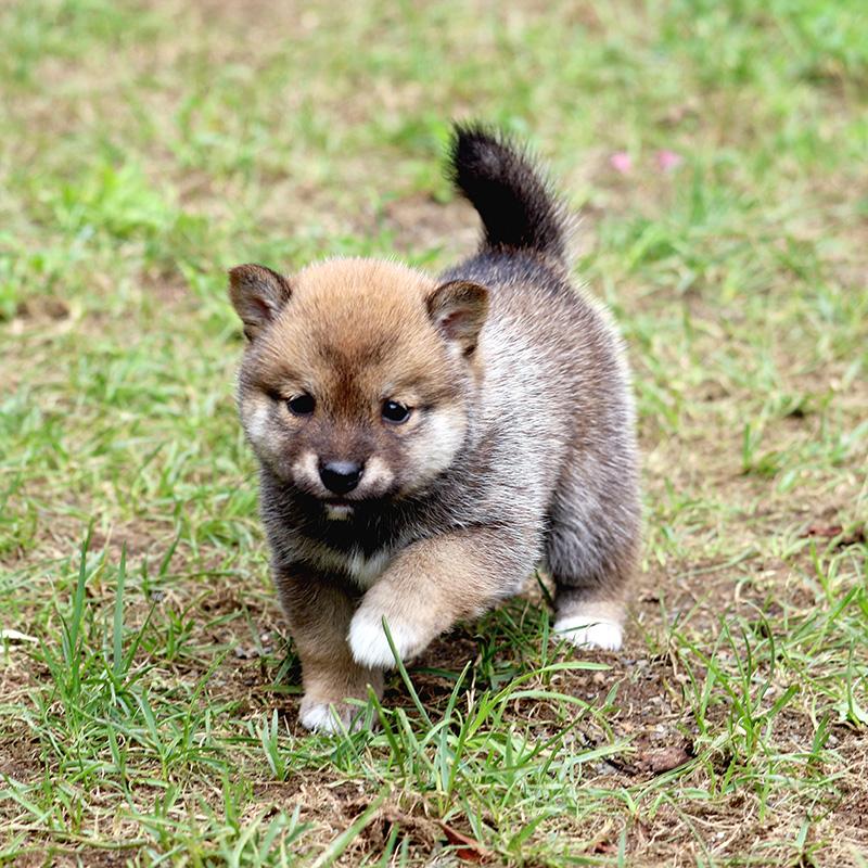 極小豆柴母犬 ナイルちゃんの子c