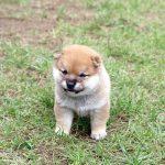 極小豆柴母犬 エナちゃんの子