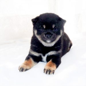 極小豆柴母犬 サライちゃんの子