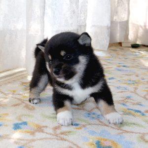小豆柴母犬 ミホちゃんの子b
