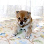 極小豆柴母犬 シギちゃんの子b