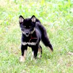 FP040_極小豆柴子犬