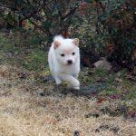極小豆柴子犬 白