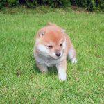 極小豆柴子犬 赤