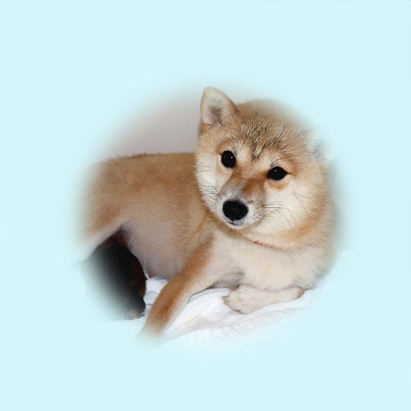 極小豆柴母犬 ポロちゃん