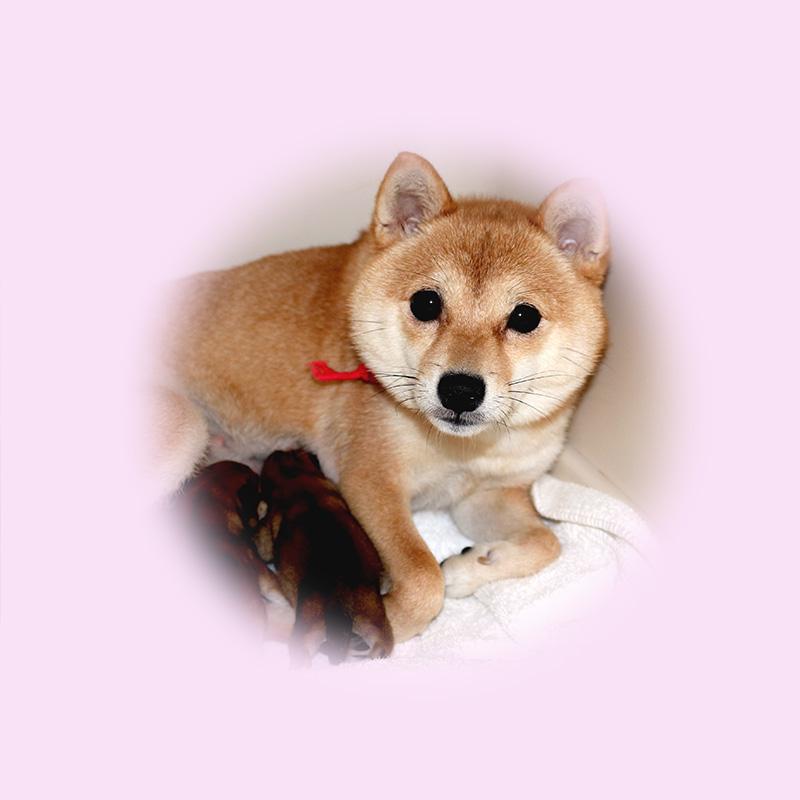 極小豆柴母犬 ぽんずちゃん