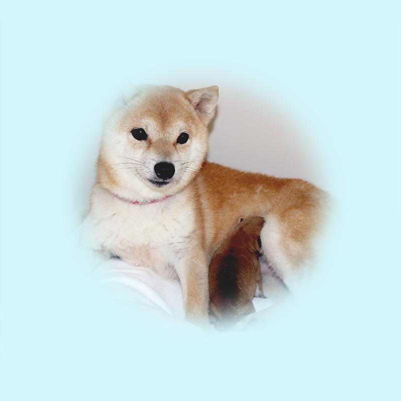 極小豆柴母犬 テトちゃん
