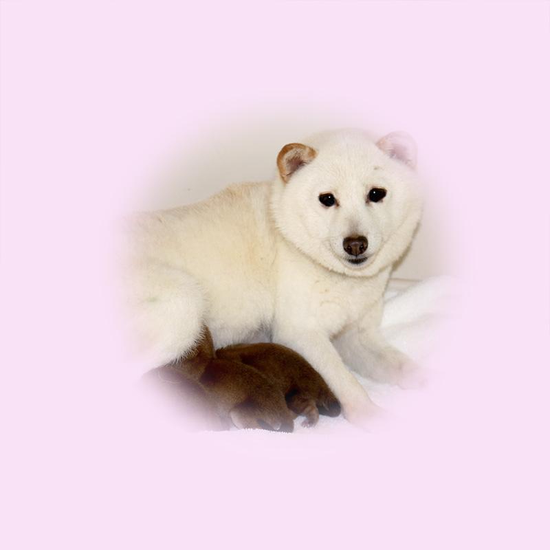 極小豆柴母犬 シータちゃん