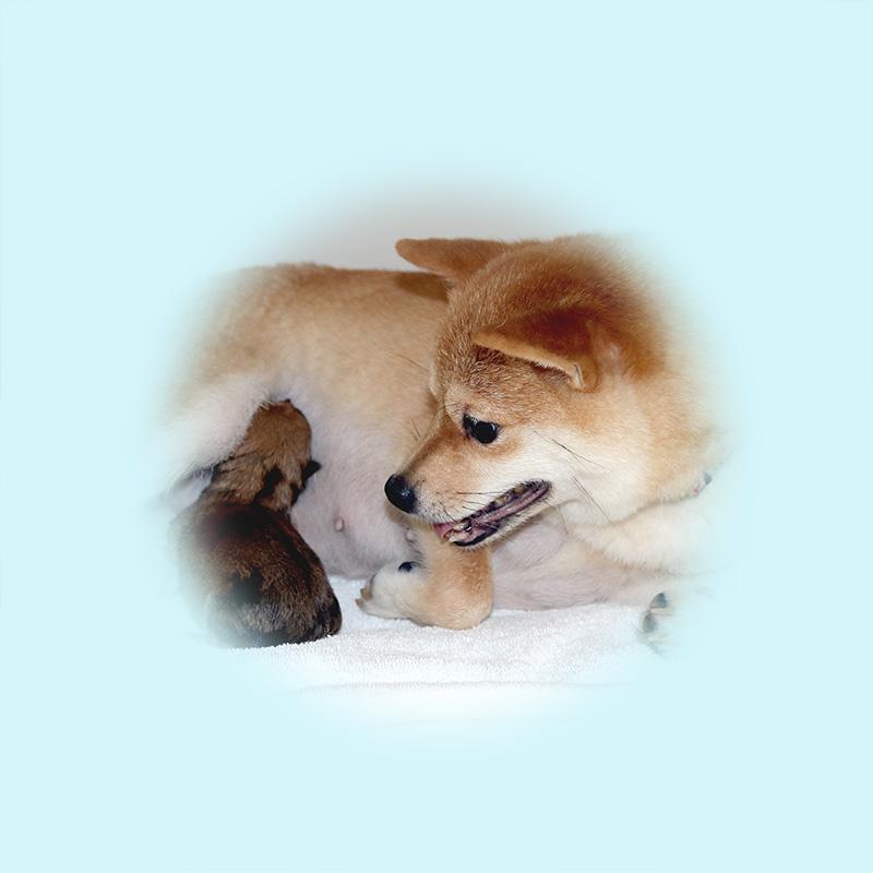 極小豆柴母犬 エナちゃん