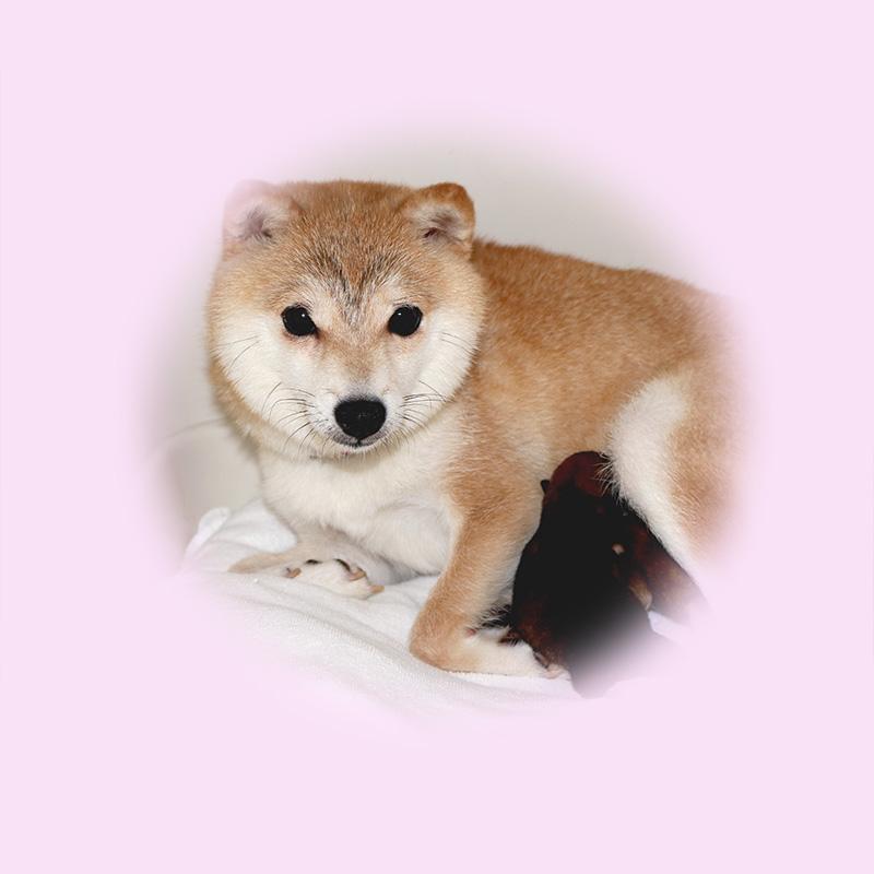 極小豆柴母犬 リロちゃん