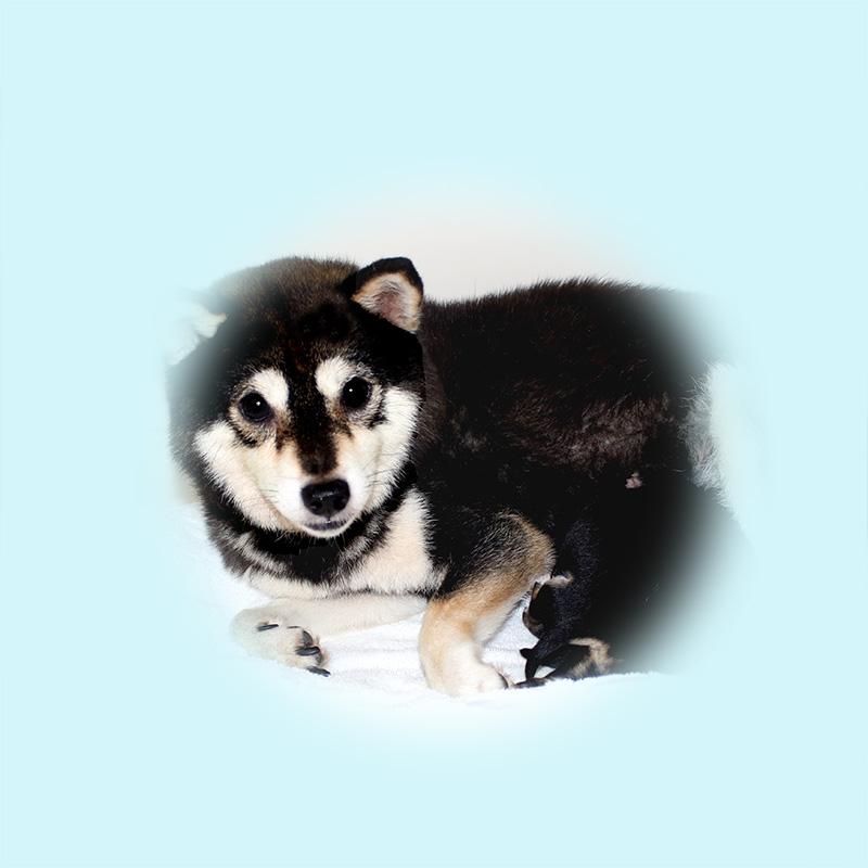 極小豆柴母犬 サトちゃん