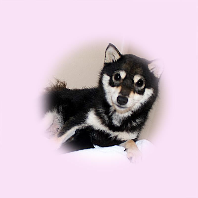 極小豆柴母犬 サライちゃん