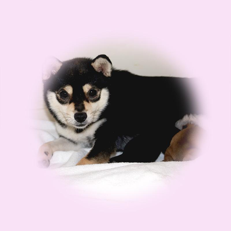 小豆柴母犬 ミホちゃん