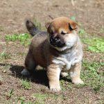 極小豆柴母犬 パヤちゃんの子