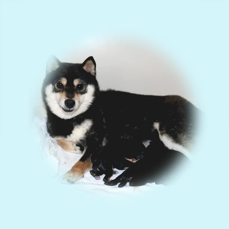 豆柴母犬 ナヒメちゃん