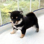 極小豆柴母犬 イヨちゃんの子b