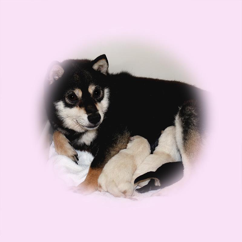 極小豆柴母犬 ポムちゃん