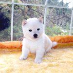 極小豆柴母犬 ポムちゃんの子c