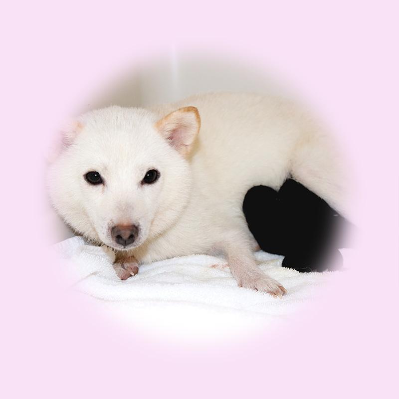 極小豆柴母犬 イヨちゃん