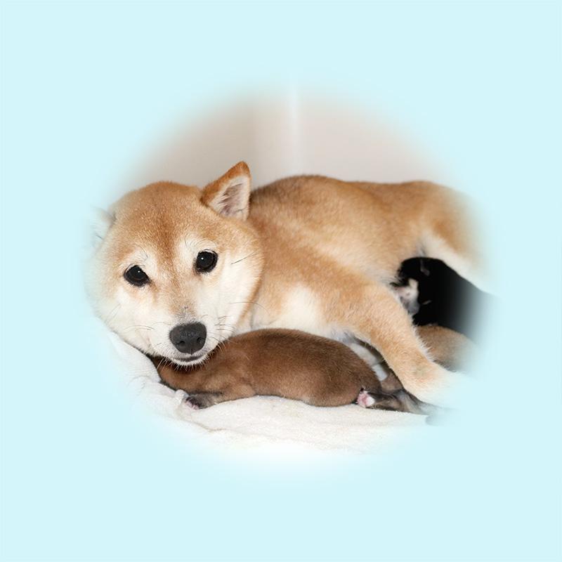 極小豆柴母犬 フグちゃん