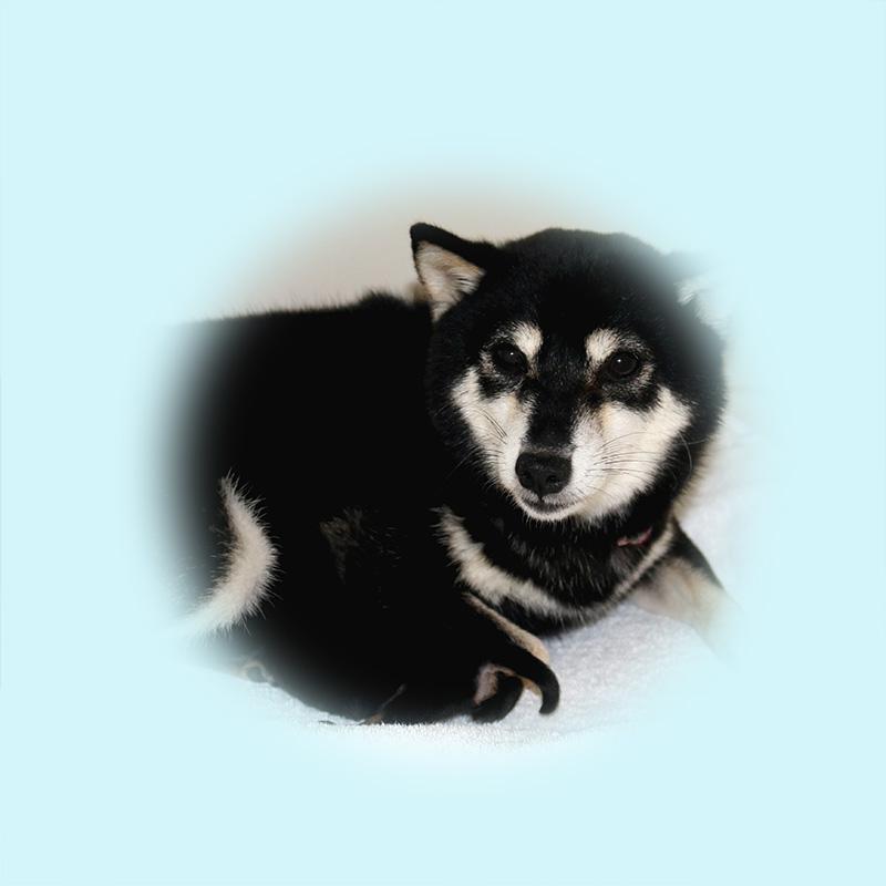極小豆柴母犬 ウラン