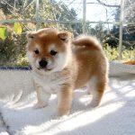 極小豆柴母犬 ナコちゃんの子