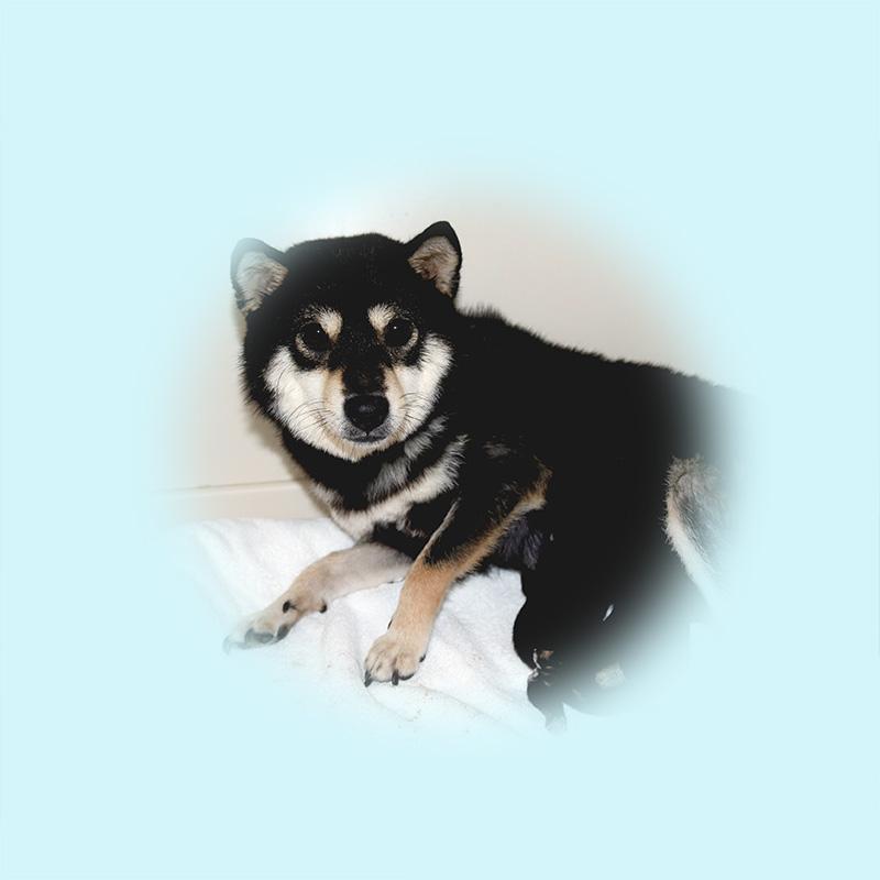 極小豆柴母犬 ヤチヨちゃん