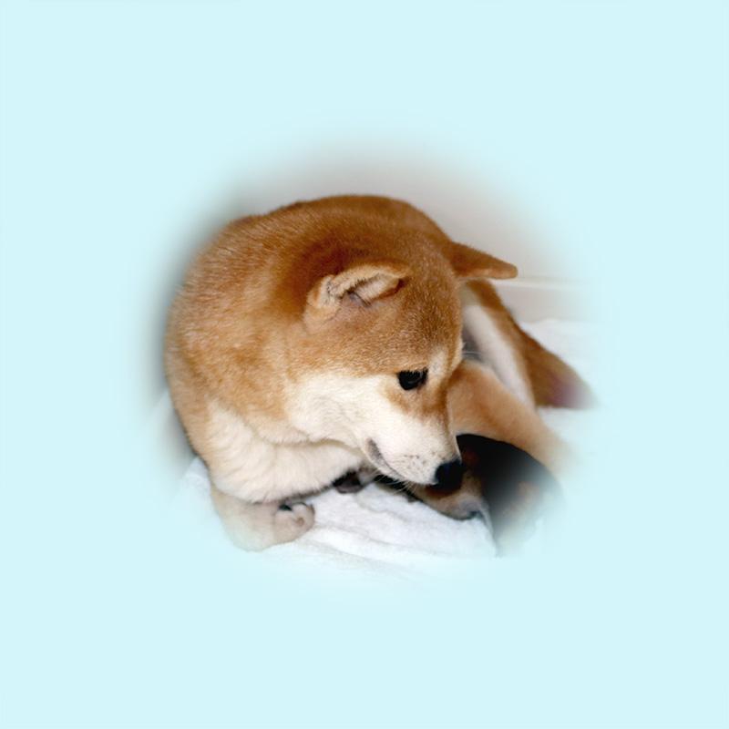 極小豆柴母犬 トトちゃん