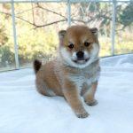 極小豆柴母犬 サヤカちゃんの子