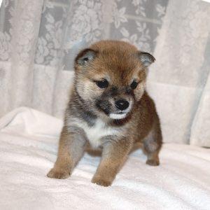 極小豆柴母犬 セリナちゃんの子