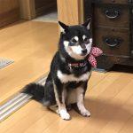 豆柴母犬 ヒダカちゃん