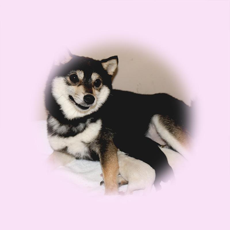 極小豆柴母犬 チョコちゃん