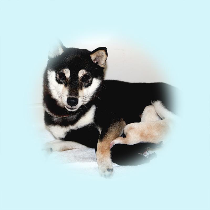 極小豆柴母犬 ルミちゃん