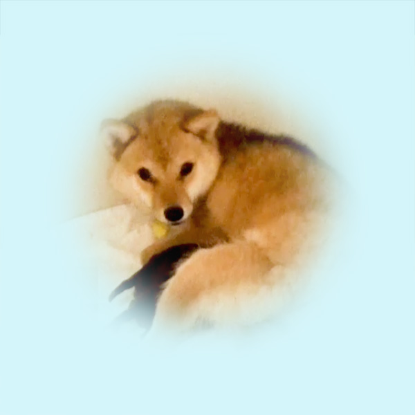 極小豆柴母犬 セリナちゃん