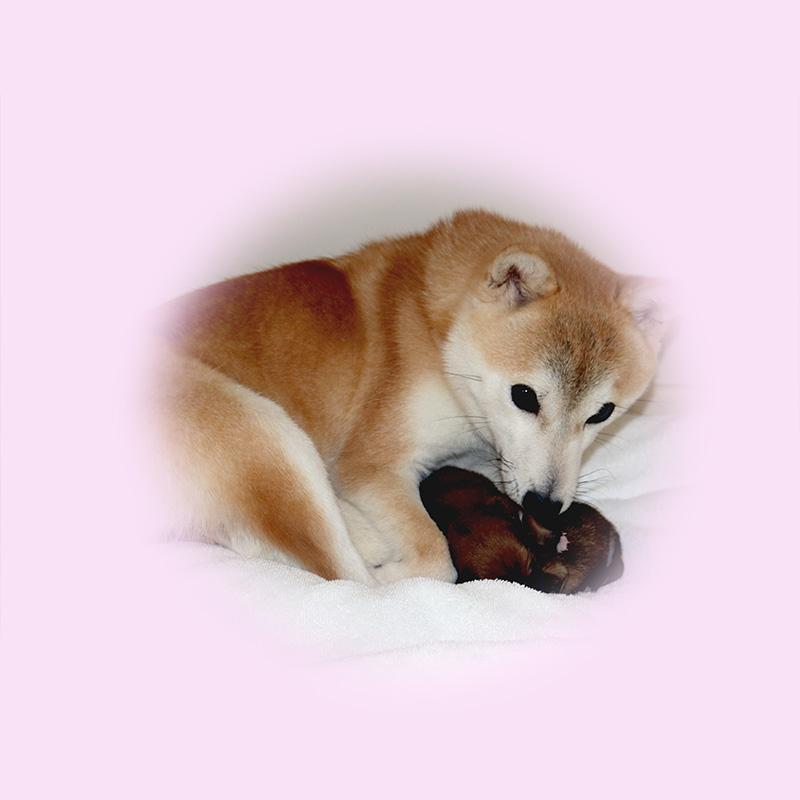 極小豆柴母犬 チャムちゃん