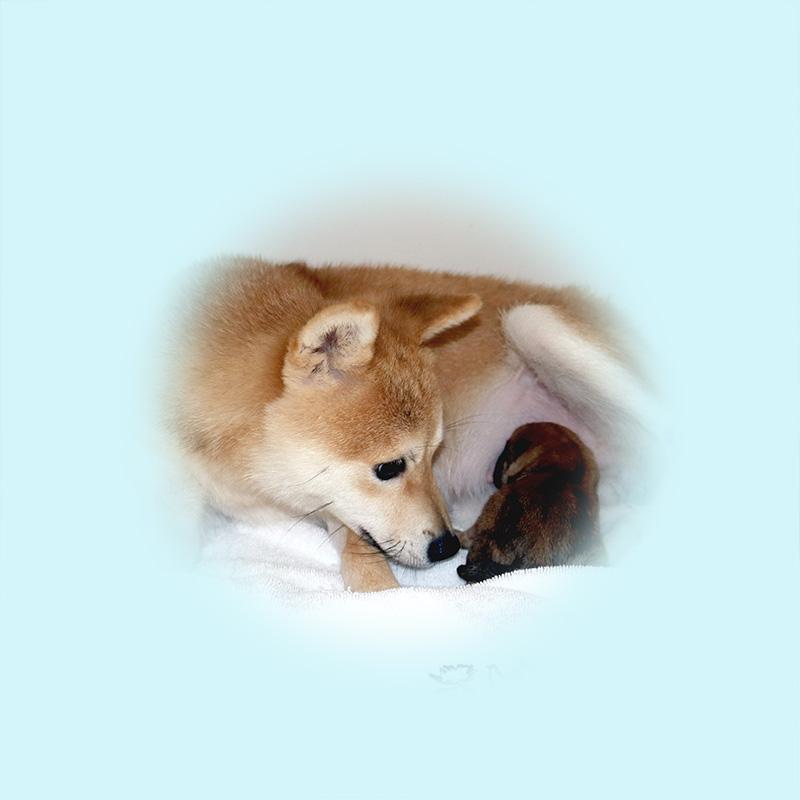 極小豆柴母犬 ユズカちゃん