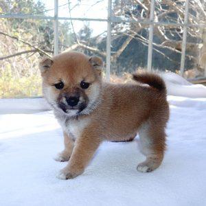 極小豆柴母犬 ユズカちゃんの子