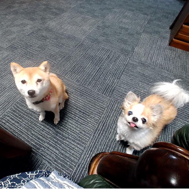 極小豆柴犬 ぶんぶんちゃん