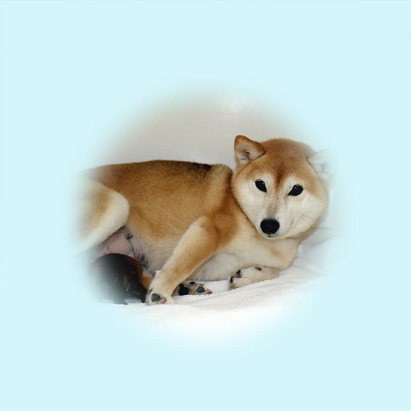極小豆柴母犬 ぐみちゃん