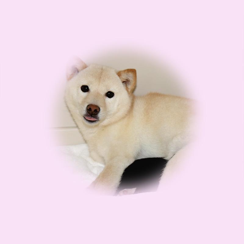 極小豆柴母犬 カエちゃん