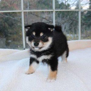極小豆柴母犬 カエちゃんの子b