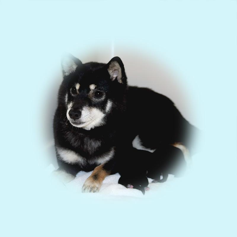 極小豆柴母犬 コマリちゃん