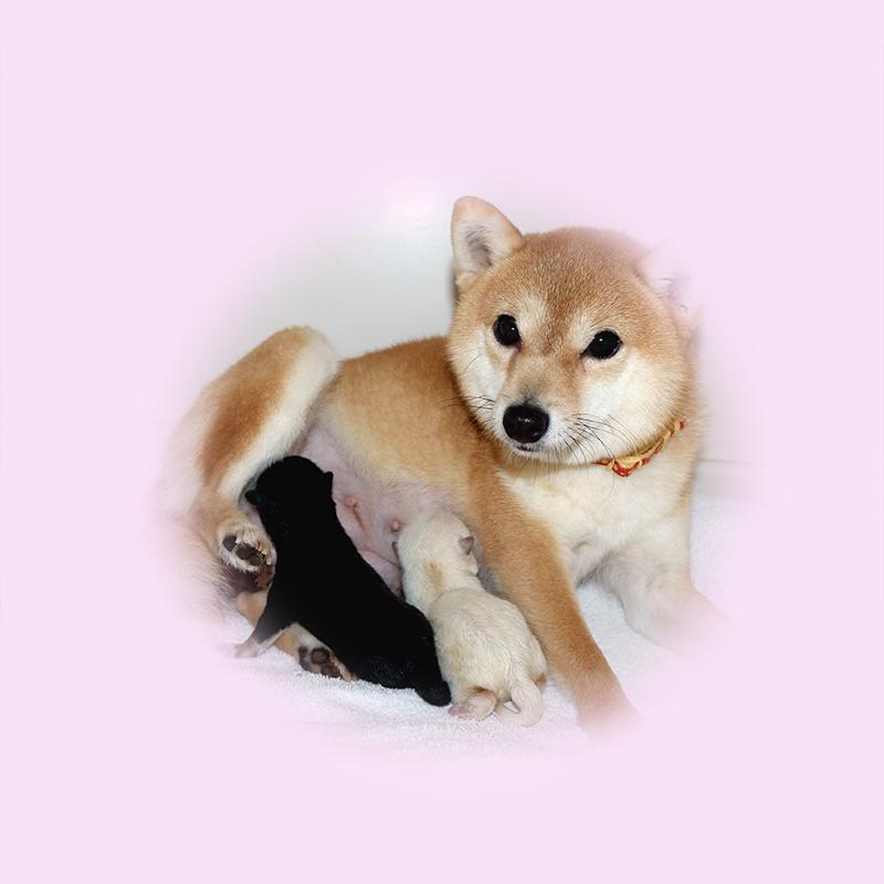 極小豆柴母犬 ユユちゃん