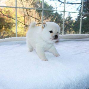 極小豆柴母犬 ユユちゃんの子b