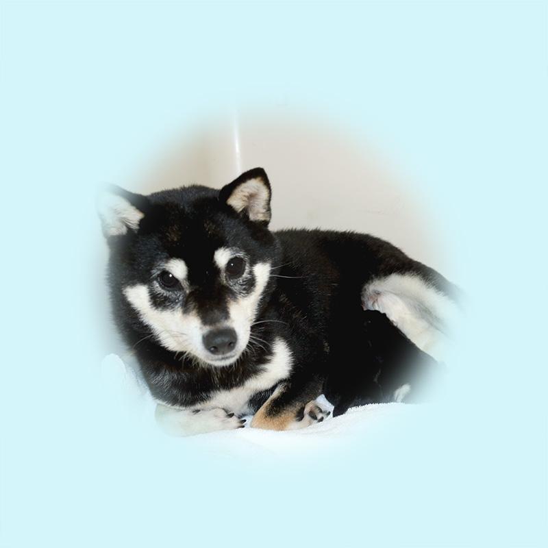 極小豆柴母犬 マリモちゃん