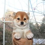 極小豆柴母犬 チナミちゃんの子