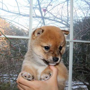 極小豆柴母犬 ミノリちゃんの子b