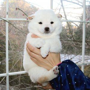 極小豆柴母犬 ウララちゃんの子b