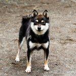 FP-035. 極小豆柴成犬